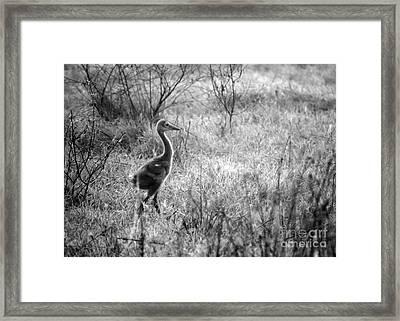 Sandhill Chick In The Marsh - Black And White Framed Print by Carol Groenen