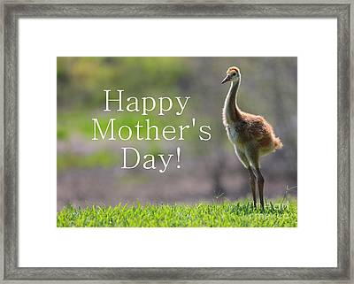Sandhill Chick Mother's Day Card Framed Print by Carol Groenen