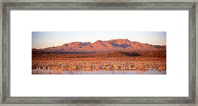 Sandhill Crane, Bosque Del Apache, New Framed Print by Panoramic Images