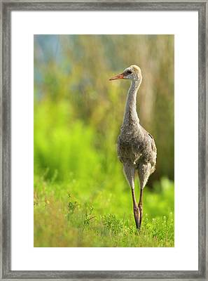 Sandhill Crane Chick, Grus Canadensis Framed Print by Maresa Pryor