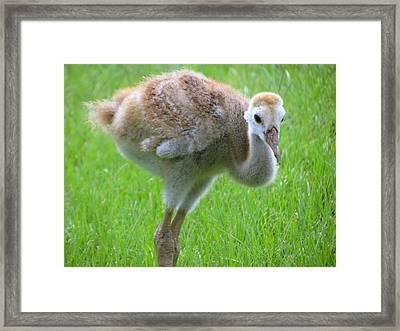 Sandhill Crane Chick I Framed Print by Zina Stromberg