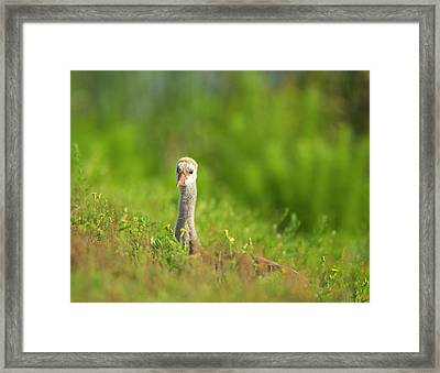 Sandhill Crane Chick Resting In Grass Framed Print by Maresa Pryor