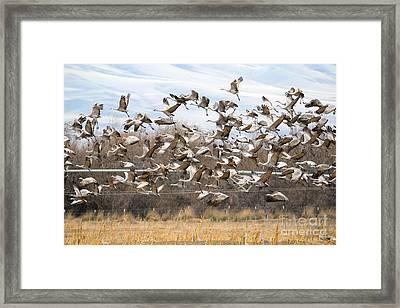 Sandhill Crane Explosion Framed Print by Mike Dawson