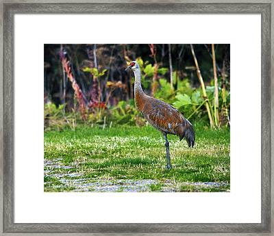 Sandhill Crane Feeding Behind Wasabi Framed Print by Michel Hersen