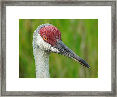 Sandhill Crane Female Close Up Framed Print by Lynda Dawson-Youngclaus
