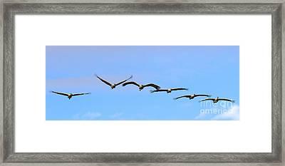 Sandhill Crane Flight Pattern Framed Print by Mike Dawson