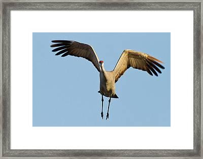 Sandhill Crane (grus Canadensis Framed Print by William Sutton