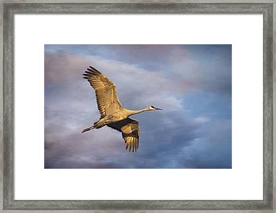 Sandhill Crane In Flight Framed Print by Priscilla Burgers