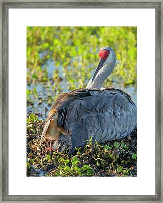 Sandhill Crane On Nest With One Day Old Framed Print by Maresa Pryor