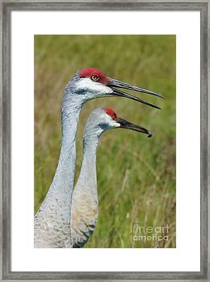 Sandhill Crane Portraits W-grub Framed Print by Lynda Dawson-Youngclaus