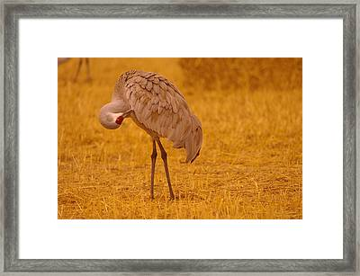 Sandhill Crane Preening Itself Framed Print by Jeff Swan