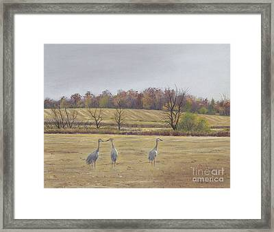 Sandhill Cranes Feeding In Field  Framed Print by Jymme Golden