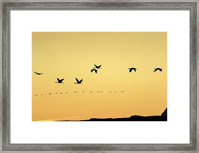 Sandhill Cranes Flying At Sunset Framed Print by Maresa Pryor