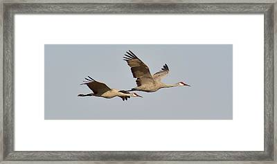 Sandhill Cranes In Flight Framed Print by Sara Edens