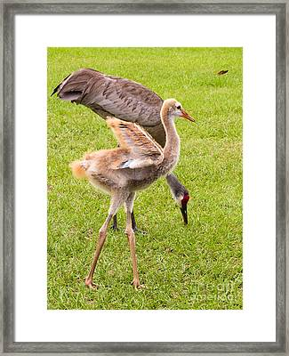 Sandhill Cranes Walking Around Framed Print by Zina Stromberg