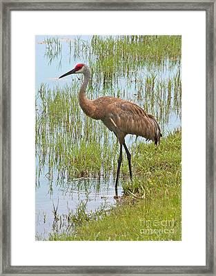 Sandhill In The Marsh Framed Print by Carol Groenen