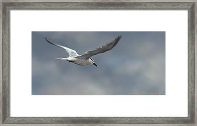 Sandwich Tern Framed Print by Aaron Blaise