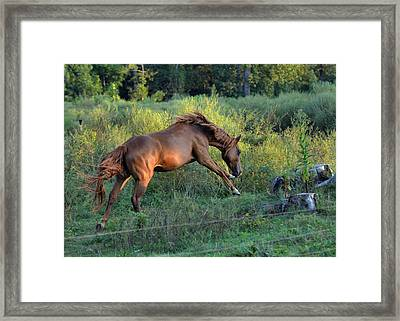 Sandy The Roan Cavorting  - C0094e Framed Print by Paul Lyndon Phillips