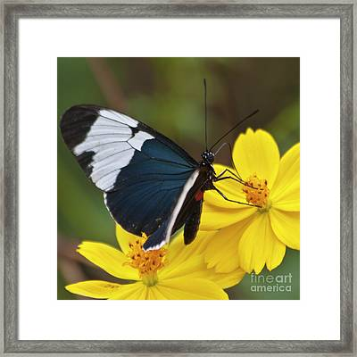 Sapho Longwing Yellow Oriented Framed Print by Heiko Koehrer-Wagner