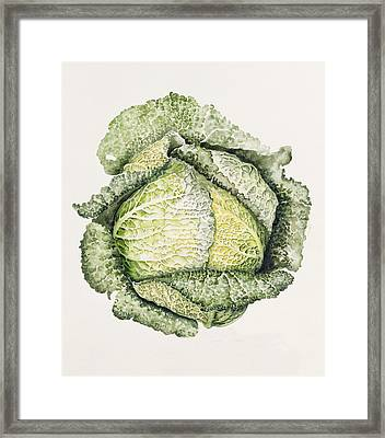 Savoy Cabbage  Framed Print by Alison Cooper