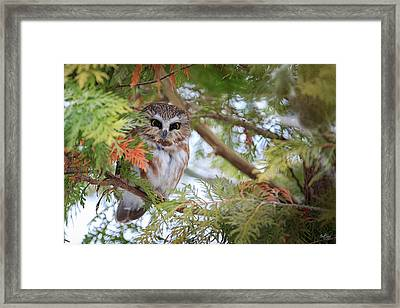 Saw-whet Owl Framed Print by Everet Regal
