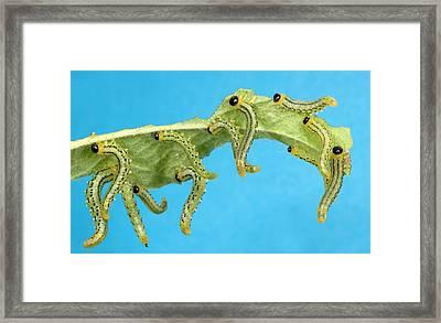 Sawfly Larvae Framed Print by Nigel Downer