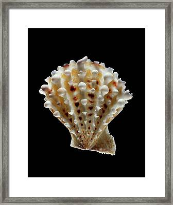 Scallop Shell Framed Print by Gilles Mermet