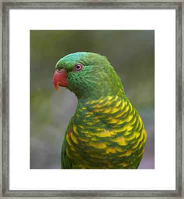 Scaly-breasted Lorikeet Australia Framed Print by Martin Willis