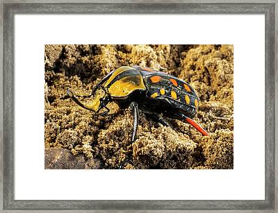 Scarab Beetle On A Flower Framed Print by Philippe Psaila