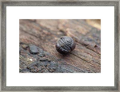 Scarab Beetle Rolled Up In Defence Framed Print by Melvyn Yeo