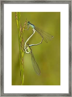 Scarce Blue-tailed Damselfly Pair Framed Print by Marcel Klootwijk
