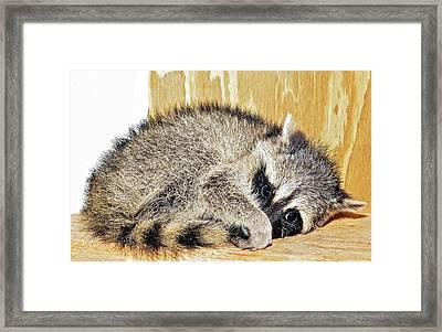 Scared Raccoon Framed Print by Susan Leggett