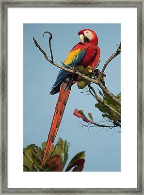 Scarlet Macaw Ara Macao, Tarcoles Framed Print by Panoramic Images