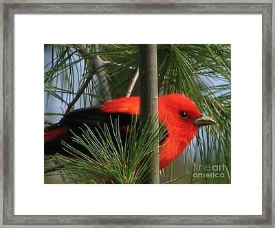 Scarlet Tanager Framed Print by Nancy TeWinkel Lauren