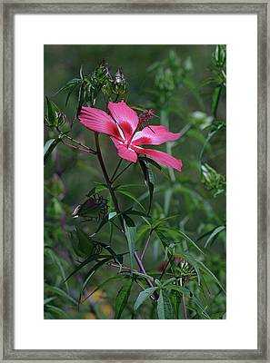 Scarlett Rosemallow (hibiscus Coccineus) Framed Print by Dr. Nick Kurzenko