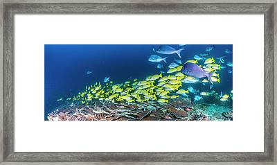 School Of Bluestripe Snappers Lutjanus Framed Print by Panoramic Images