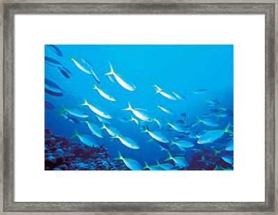 School Of Fish, Underwater Framed Print by Panoramic Images