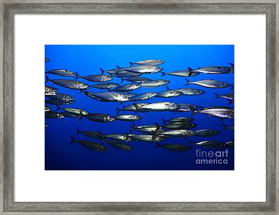 School Of Pacific Sardines 5d24927 Framed Print by Wingsdomain Art and Photography