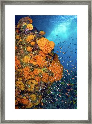 Schooling Fusiliers And Anthias Swim Framed Print by Jaynes Gallery