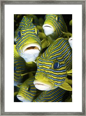 Schooling Sweetlip Fish, Raja Ampat Framed Print by Jaynes Gallery