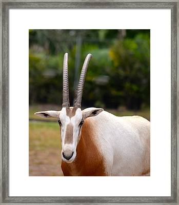 Scimitar Horned Oryx 2 Framed Print by Richard Bryce and Family