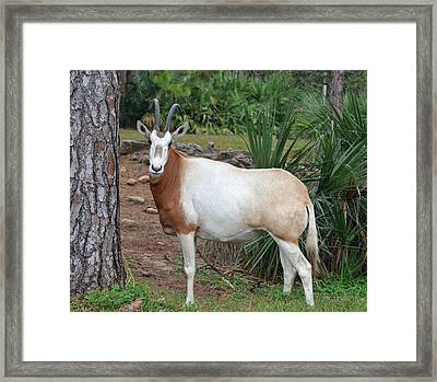 Scimitar Horned Oryx Framed Print by Richard Bryce and Family