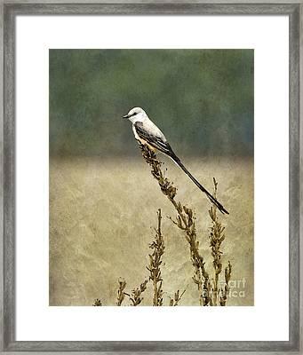 Scissortailed-flycatcher Framed Print by Betty LaRue