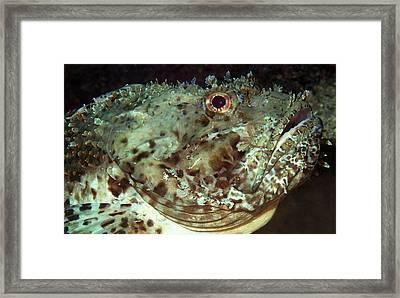 Scorpionfish Head Framed Print by Nigel Downer