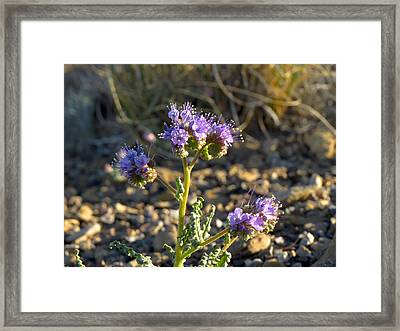 Scorpionweed Framed Print by Feva  Fotos