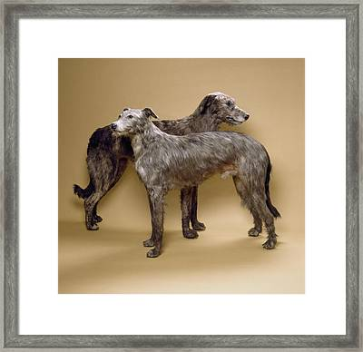 Scottish Deerhounds, Stuffed Specimens Framed Print by Science Photo Library