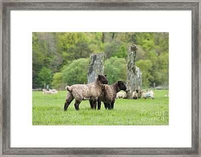 Scottish Sheep Framed Print by Juli Scalzi