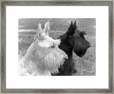 Scottish Terrier Dogs Black And White Framed Print by Jennie Marie Schell