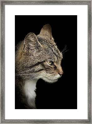 Scottish Wildcat Framed Print by Paul Neville