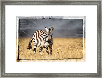 Scratched Tin Zebra Framed Print by Mike Gaudaur